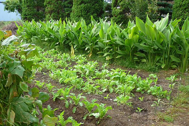 自家栽培のウコン